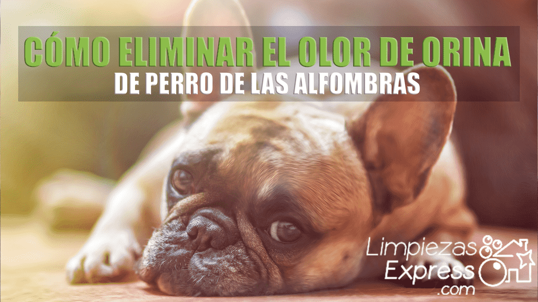 eliminar olor orina perro alfombras